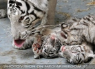 Kinderstube der weißen Tiger Drillinge 48