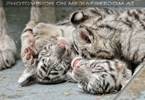 Kinderstube der weißen Tiger Drillinge 49