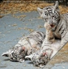 Kinderstube der weißen Tiger Drillinge 50