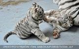 Kinderstube der weißen Tiger Drillinge 51