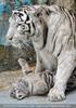 Kinderstube der weißen Tiger Drillinge 52