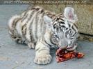 Kinderstube der weißen Tiger Drillinge 53
