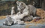 Kinderstube der weißen Tiger Drillinge 54
