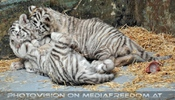 Kinderstube der weißen Tiger Drillinge 55