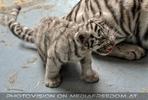 Kinderstube der weißen Tiger Drillinge 57