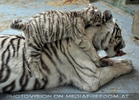 Kinderstube der weißen Tiger Drillinge 58