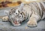 Kinderstube der weißen Tiger Drillinge 61