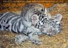 Kinderstube der weißen Tiger Drillinge 64