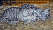 Kinderstube der weißen Tiger Drillinge 65