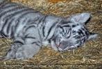 Kinderstube der weißen Tiger Drillinge 68
