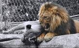 Das alte Löwen Lied