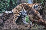 Des Tigers Holzspielzeug