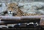 Die Jaguare 04