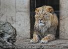 Dösender Löwe