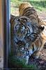 Drei neugierige sibirische Tiger