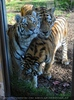 Drei sibirische Tiger