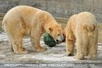Eisbären im Schnee 04