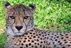 Erwachter Gepard