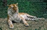 Exotischer Tiger auf Zwischenstation