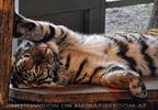 Fauler Tiger