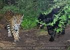 Gefleckter und schwarzer Jaguar