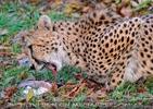 Gepard 05