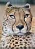 Gepard 11