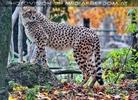 Gepard 12