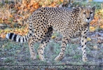 Gepard 2