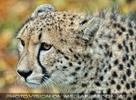 Gepard 9
