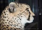 Gepard am Abend 1