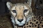 Gepard am Abend 2