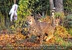 Gepard auf Beutejagd