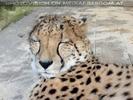 Gepard döst