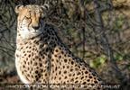 Gepard entspannt