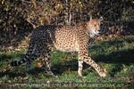 Gepard flaniert