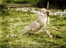 Gepard - Futter gefangen