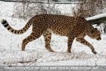 Gepard im Schnee