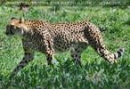 Gepard im Schritt