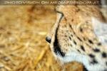 Gepard Profil