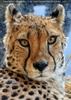Gepard schaut mich an