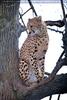 Geparden 01
