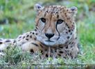Geparden 02