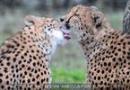 Geparden 06