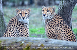 Geparden 07