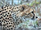 Geparden 08
