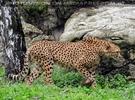 Geparden 1