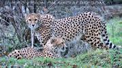 Geparden 4
