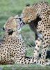 Geparden 6