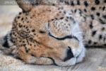 Geparden Familie 10